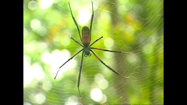 exterior shots of a large spider on a spiderweb in a rainforest on november 17, 2003 in libreville, gabon. - spinnennetz stock-videos und b-roll-filmmaterial