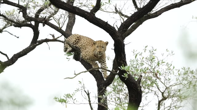 exterior shots of a leopard grazing in a tree in the kruger national park on 9th april 2018 pretoria south africa - grasen stock-videos und b-roll-filmmaterial