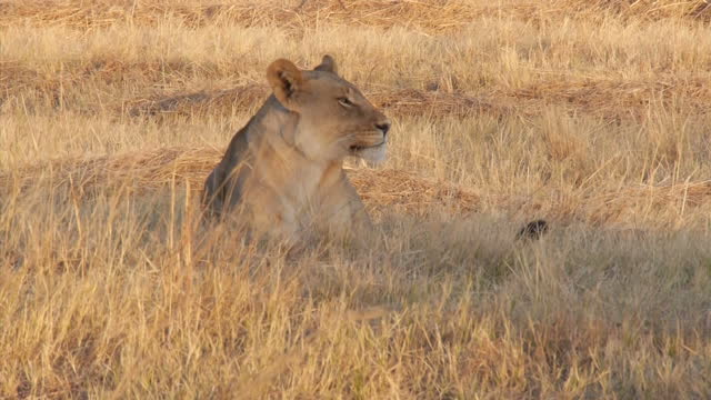 Exterior shots of a lioness pacing and resting in grass on the Hwange National Park on August 07 2015 in Hwange Zimbabwe