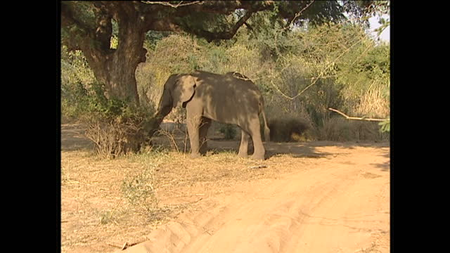 Exterior shots of a lone elephant eating plants with it's trunk on August 12 2002 in Zambia