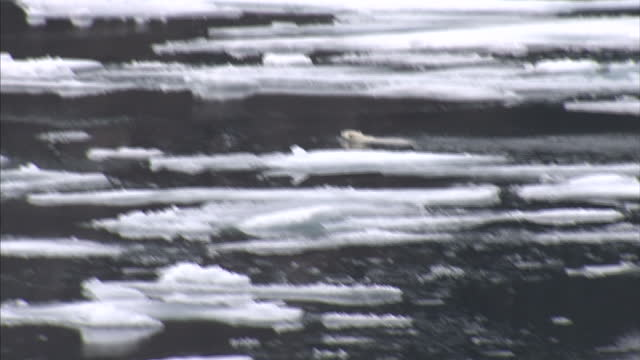 exterior shots of a polar bear in the wild swimming amongst melting ice floes in the north west passage on august 25 2007 in cambridge bay canada - northwest passage stock videos and b-roll footage