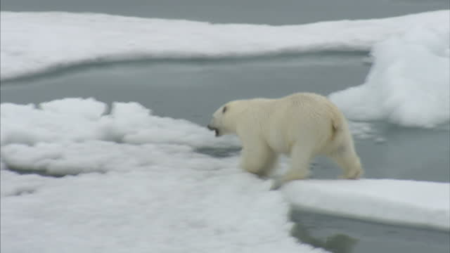exterior shots of a polar bear in the wild walking across a ice floes in the north west passage on august 25 2007 in cambridge bay canada - melting stock videos & royalty-free footage