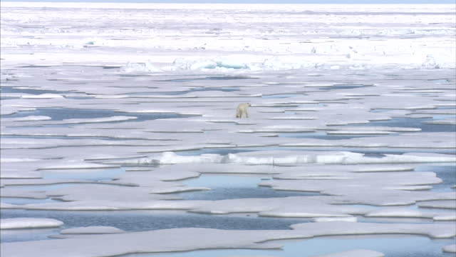 exterior shots of a polar bear in the wild walking across a ice floes in the north west passage. on august 25, 2007 in cambridge bay, canada. - glacier stock videos & royalty-free footage