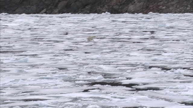 vidéos et rushes de exterior shots of a polar bear in the wild walking across a ice floes in the north west passage on august 25 2007 in cambridge bay canada - banquise flottante