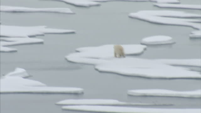 exterior shots of a polar bear in the wild walking across a ice floes in the north west passage. on august 25, 2007 in cambridge bay, canada. - icecap stock videos & royalty-free footage