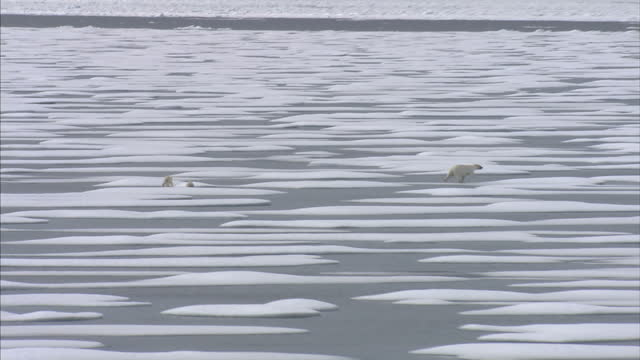 exterior shots of a polar bear mother and her two cubs in the wild walking across ice floes in the north west passage. on august 25, 2007 in... - ice floe stock videos & royalty-free footage