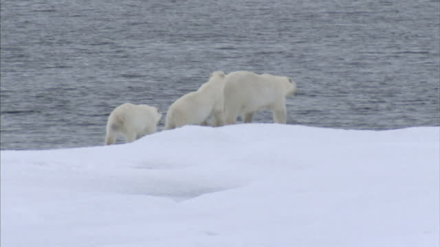 exterior shots of a polar bear mother and her two cubs in the wild stranded on drift ice and melting ice floes in the north west passage. on august... - north pole stock videos & royalty-free footage