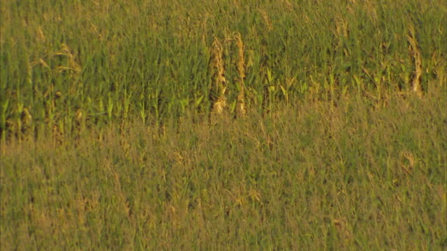 exterior shots of a quiet farm road in rural nebraska as a pickup truck drives past fields of maize on october 22, 2014 in neligh, nebraska. - willie nelson stock videos & royalty-free footage