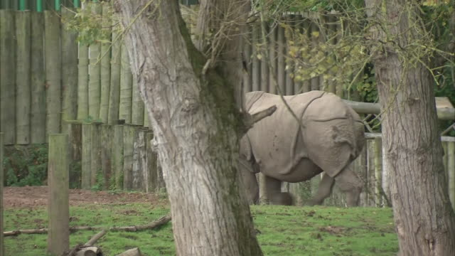 exterior shots of a rhino roaming through its enclosure at chester zoo on the 24th september 2020 in chester, england - 英国チェスター点の映像素材/bロール