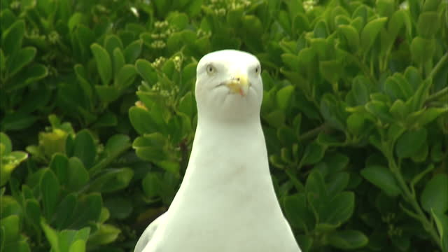 exterior shots of a seagull collecting twigs and looking down camera. on july 18, 2015 in brighton, england. - seagull stock videos & royalty-free footage
