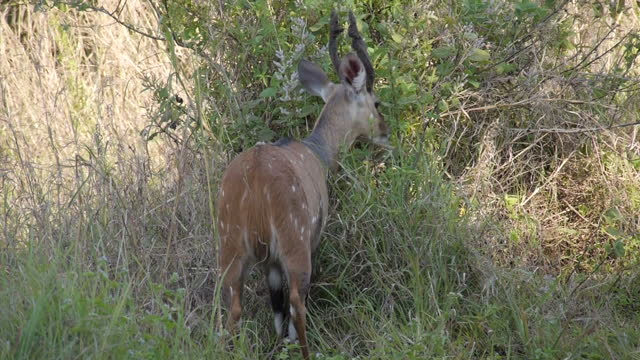 Exterior shots of a spotted antelope grazing near the top of Victoria Falls on August 07 2015 in Hwange Zimbabwe