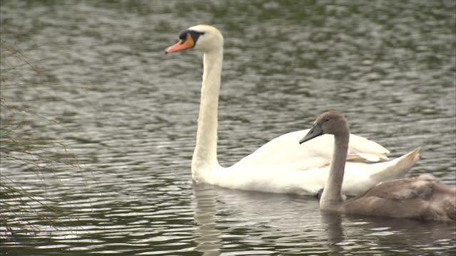 vídeos y material grabado en eventos de stock de exterior shots of a swan and mature ducklings swimming on a lake on july 30, 2016 in sunderland, england. - organismo acuático