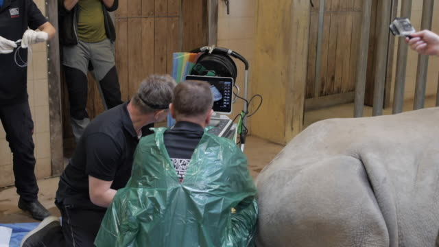 stockvideo's en b-roll-footage met exterior shots of a team working with fertility experts to inseminate a rhino and save the northern white rhinos on 8 august 2020 in unspecified - kunstmatige inseminatie