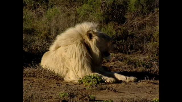 Exterior shots of a white lion resting on the Sanbona nature reserve on November 17 2004 in Montagu South Africa