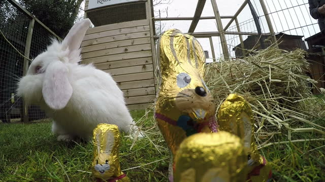 exterior shots of a white pet rabbit eating hay in an outdoor enclosure with foilwrapped chocolate easter bunnies in the foreground>> on march 26... - osterhase stock-videos und b-roll-filmmaterial