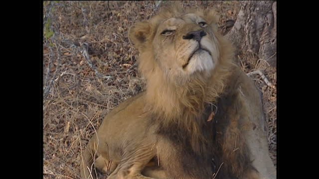Exterior shots of a young male lion sleeping under a tree waking up and yawning showing teeth and close up shots of lion's face on July 26 2002 in...