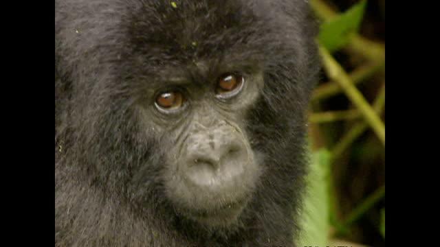 Exterior shots of adults and baby gorillas in the wild in Ruhengeri on October 03 2002 in Ruhengeri Rwanda