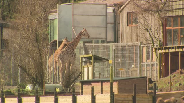 exterior shots of animals in enclosures at south lakes safari zoo, including bactrian camels, giraffes and baboons. - safari animals stock videos & royalty-free footage