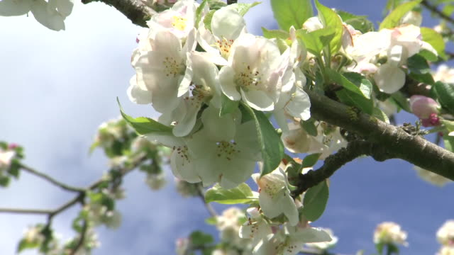 exterior shots of apple trees in blossom in an orchard on a sunny day on 2 may 2020 in taunton somerset united kingdom - blossom stock videos & royalty-free footage