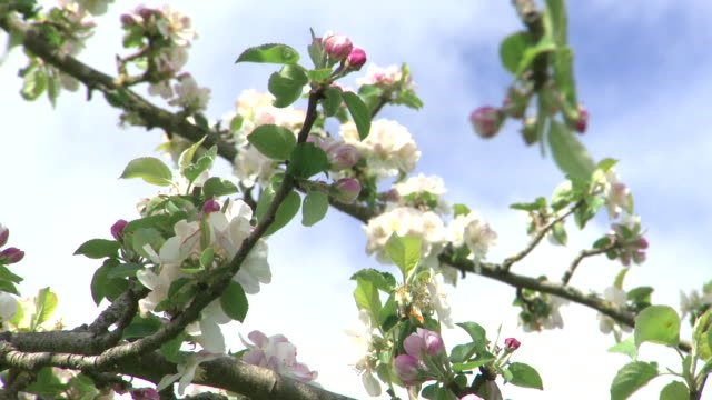 exterior shots of apple trees in blossom in an orchard on a sunny day on 2 may 2020 in taunton, somerset, united kingdom - juice drink stock videos & royalty-free footage