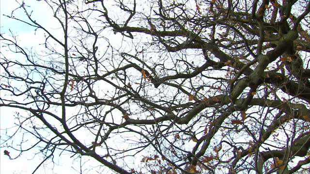 vídeos de stock e filmes b-roll de exterior shots of bare branches on an oak tree in kew gardens with a few dry leaves fluttering down>> on december 03 2014 in london united kingdom - bare tree