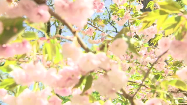 exterior shots of blossom on trees daffodils and other flowers on a bright spring day in a nature reserve on 22 april 2018 in woking united kingdom - temperate flower stock videos and b-roll footage