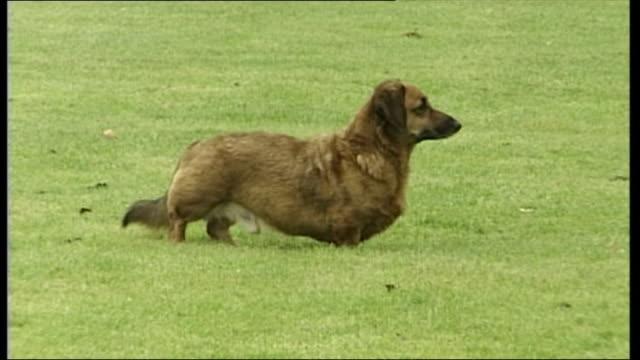 exterior shots of corgi dogs running around buckingham palace grounds and shots of corgi's on grass. - königin stock-videos und b-roll-filmmaterial