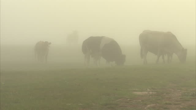 vídeos de stock, filmes e b-roll de exterior shots of cows grazing in a misty farm field. cows grazing in misty field on september 04, 2013 in gloucester, england - formato bruto