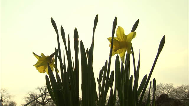 exterior shots of daffodil flowers in the ground with the sun rising in the background on a spring morning on march 16, 2015 in cornwall, england. - ペンザンス点の映像素材/bロール