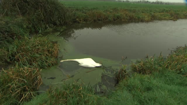 exterior shots of dead swan in the water, casualty of bird flu, on 28 november 2020 in wales. - water bird stock videos & royalty-free footage