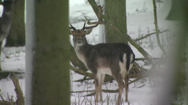 stockvideo's en b-roll-footage met exterior shots of deers running around the snow covered on1st february 2019 in farrigton england - werkdier