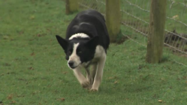 exterior shots of dog herding sheep on a farm on 8 march 2019 in cirencester, england. - herding stock-videos und b-roll-filmmaterial