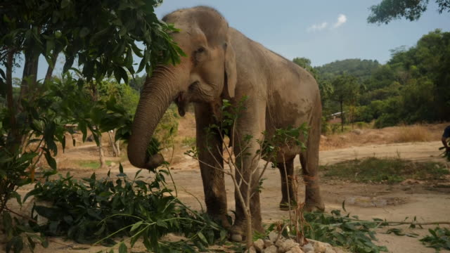 exterior shots of domesticated elephant eating tree leaves on on 18th april 2020 in phuket, thailand. - domestic animals stock videos & royalty-free footage