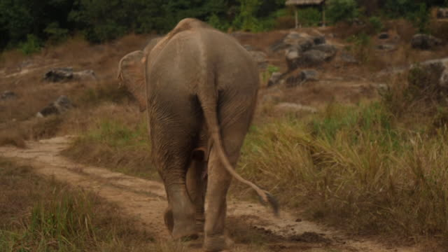 exterior shots of domesticated elephant walking down the road on 18th april 2020 in phuket thailand - phuket stock videos & royalty-free footage