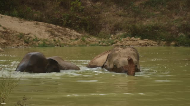 exterior shots of domesticated elephants bathing at the waterhole on 18th april 2020 in phuket thailand - animal themes stock videos & royalty-free footage