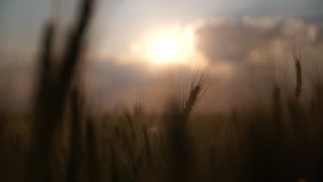 exterior shots of ears of wheat crops in a wheat field with sun setting behind, on 22 september 2018 in zimbabwe - repubblica dello zimbabwe video stock e b–roll