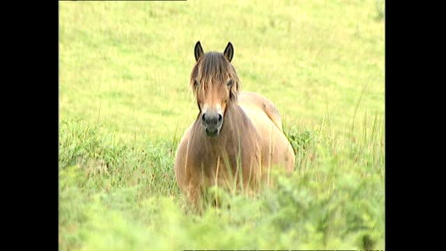 vídeos y material grabado en eventos de stock de exterior shots of exmoor ponies grazing on moorland in devon, including shots of a pregnant mare and a mare with a foal at foot. >> on july 16, 2000... - mamífero