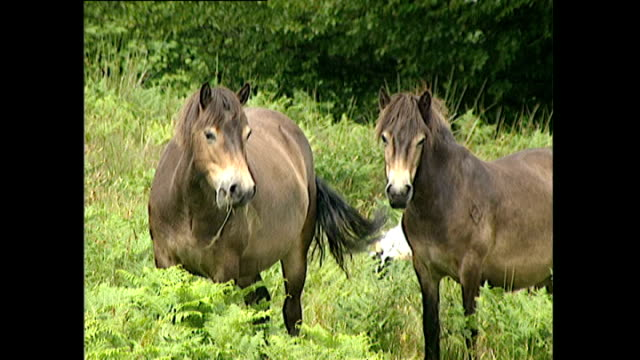 Exterior shots of Exmoor ponies including a mare and foal moving across moorland and grazing in Devon>> on July 16 2000 in UNSPECIFIED United Kingdom