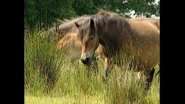 Exterior shots of Exmoor ponies including mares with foals grazing on moorland in Devon>> on July 16 2000 in UNSPECIFIED United Kingdom