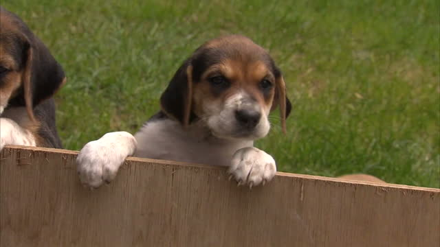 exterior shots of fox hound puppies inside of a kennel on july 14 2015 in london england - foxhound stock videos & royalty-free footage