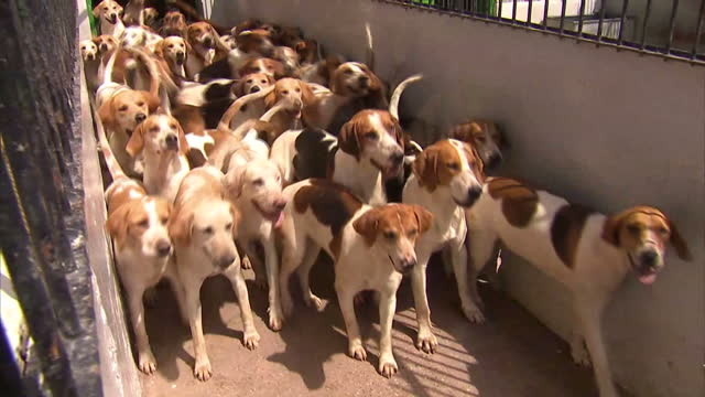 exterior shots of fox hounds being let out of a kennel on july 14 2015 in london england - foxhound stock videos & royalty-free footage