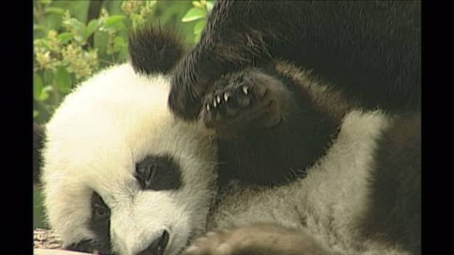 exterior shots of giant pandas in a breeding centre playing including a mother and a cub on may 13th in chengdu china - bamboo plant stock videos & royalty-free footage