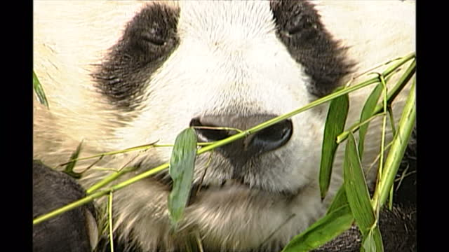 exterior shots of giant pandas in an enclosure eating bamboo watched by western tourists on may 13th in chengdu china - bamboo plant stock videos & royalty-free footage