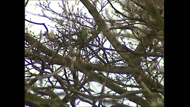 exterior shots of greenfinch sitting in tree on 23 march 1999 in bray, united kingdom - tree stock videos & royalty-free footage