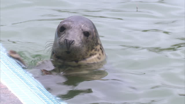 exterior shots of grey seals in a cornish seal sanctuary lounging around next to an outdoor pool and swimming on december 28 2014 in gweek england - adagiarsi video stock e b–roll