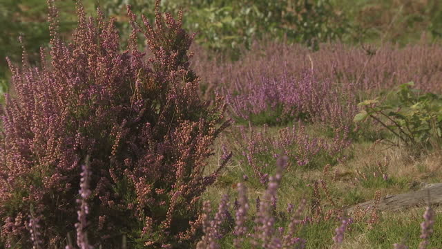Exterior shots of heather bracken ferns other plant life in heath land area of RSPB reserve on September 13 2016 in Sandy Bedfordshire England