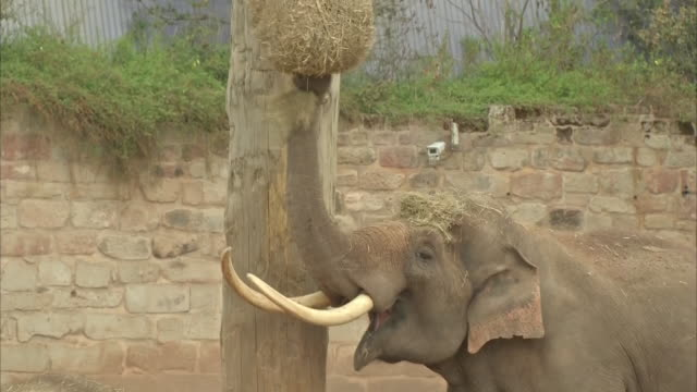 stockvideo's en b-roll-footage met exterior shots of herd of asian elephants at chester zoo on 10 june 2020 in united kingdom. - chester engeland