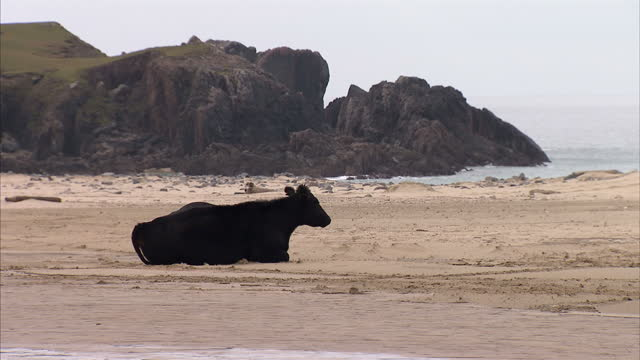 exterior shots of highland cattle resting on the beach on the i|sle of lewis. a lone cormorant perches on a log floating in a loch. shot in autumn.... - äußere hebriden stock-videos und b-roll-filmmaterial