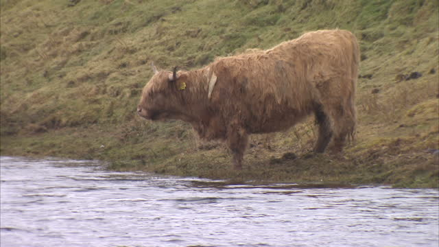 exterior shots of highland cows grazing on straw and drinking from a nearby loch on march 19, 2015 on the isle of lewis, scotland. - äußere hebriden stock-videos und b-roll-filmmaterial