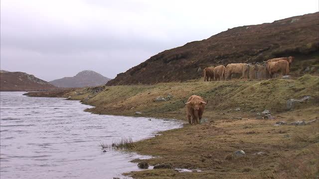 exterior shots of highland cows grazing on wild grass near the coastline on march 19, 2015 on the isle of lewis, scotland. - äußere hebriden stock-videos und b-roll-filmmaterial